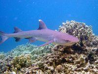 02f513e4a7 Whitetip Reef Shark Open Ocean - thumbnail