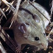 Desert Woodrat closeup links to Desert Woodrat