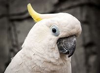 Lola the cockatoo