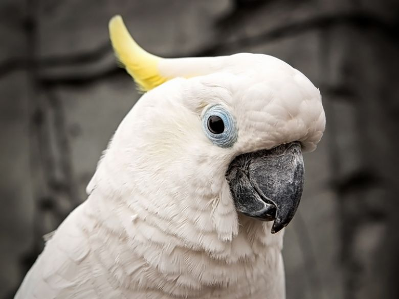 Lola the cockatoo - popup