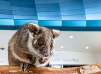 Maki the ringtail possum