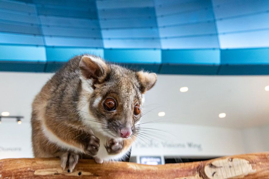 Maki the ringtail possum - lightbox