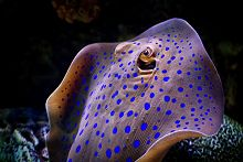 Blue spotted ray swimming upwards