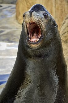 Sea lion with opened mouth