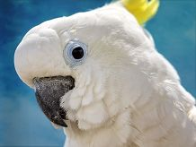 Cockatoo face on blue background looking at the camera