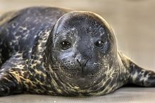 Harbor seal pup face view