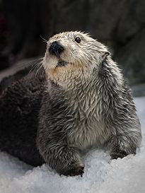 Otter standing on ice