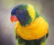 Lorikeet glancing links to Veterinary Externship - Preceptorship Program