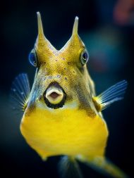 Front view of yellow cowfish