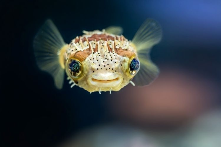 Balloonfish front view - lightbox