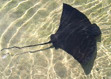 Ray in shallow water