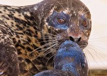 Mother and pup harbor seal links to Leadership