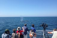 Endangered Blue Whales Spotted Off Long Beach Identified by the Aquarium's Research Program