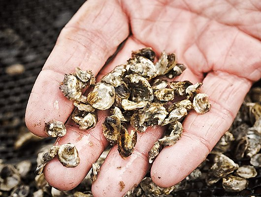 Close up of baby oysters in hand 900x600 gallery.