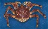 Crab, Red King