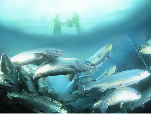 Salmon farm from underwater with people at the surface