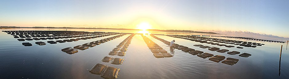 Oyster farmer tends to farm at sunrise. - banner