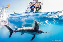 Swordfish in water with boat above links to Seeking Solutions