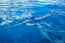 Swordfish on a fishing line links to Resources