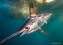 Swordfish_swimming_front_PACE_COPYRIGHT.jpg links to The Fish