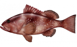 Grouper, Red
