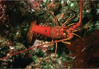 Meet the California Spiny Lobster