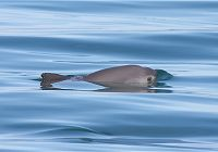The World's Smallest Marine Mammal Faces Extinction
