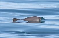 Vaquita at the surface of the water