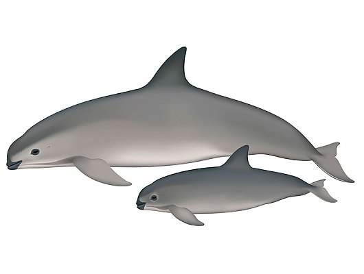 Illustration of vaquita with young vaquita