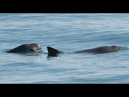 Two vaquita swimming