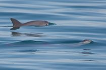 Two vaquitas swimming links to Timeline of Vaquita Conservation Efforts