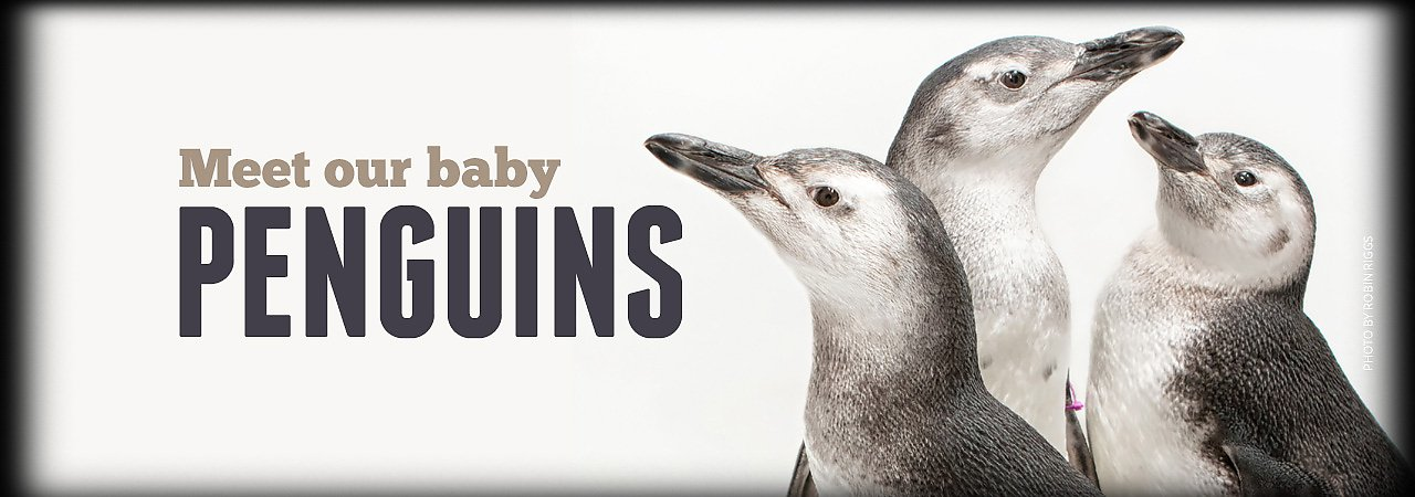 Meet Our Baby Penguins - banner