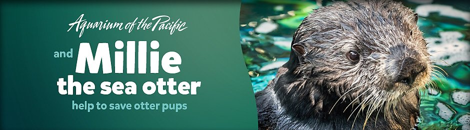 Aquarium of the Pacific and Millie the sea otter help to save otter pups - banner