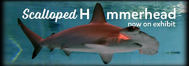Meet Our Scalloped Hammerhead Shark Now On Exhibit Banner