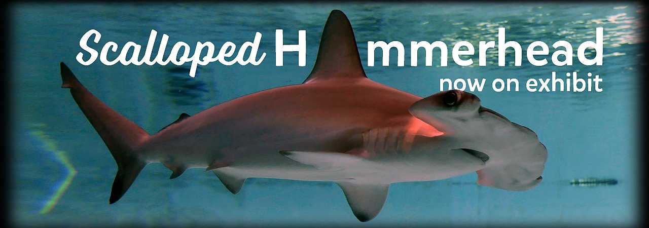 Meet our new scalloped hammerhead now on exhibit - banner