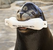 Sea lion holding a buoy that says will you marry me