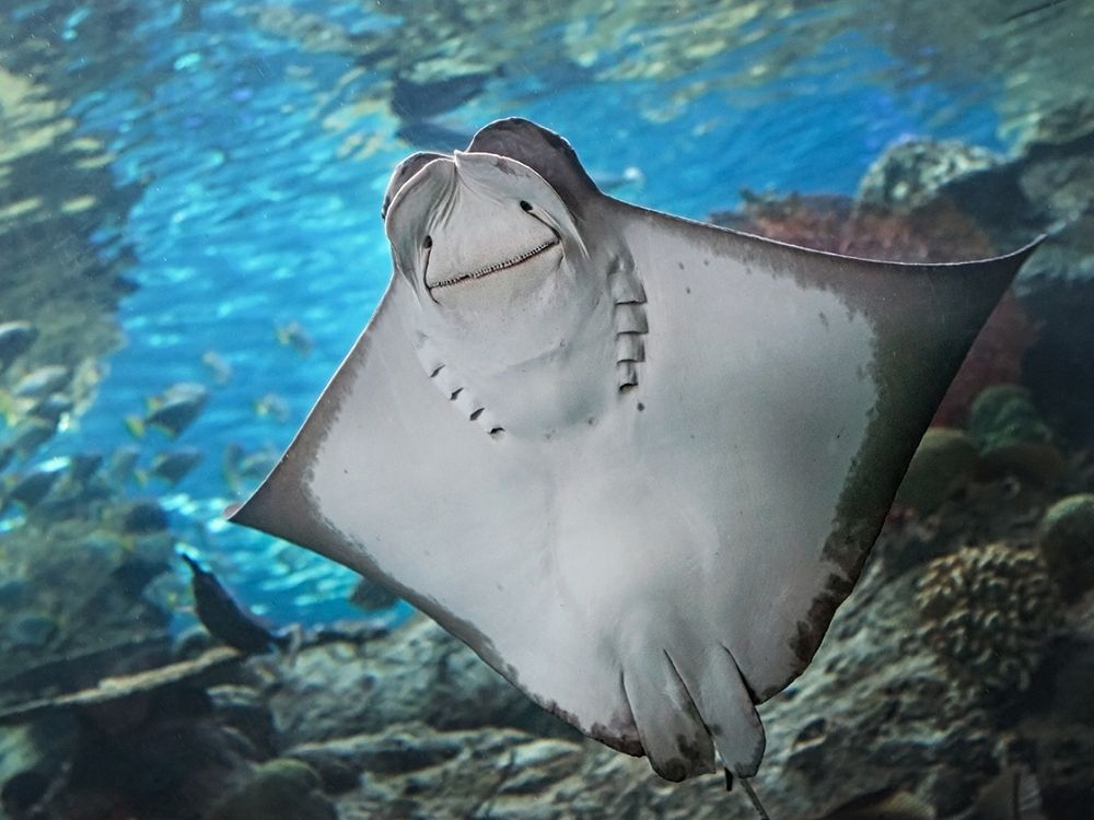 Underside of cownose ray - lightbox