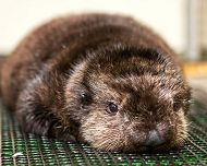 Aquarium Names Rescued Otter After Betty White