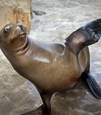 Newly Remodeled Seal and Sea Lion Habitat Now Open