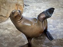 California sea lion Harpo