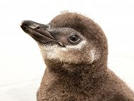 Aquarium Announces New Penguin Chick