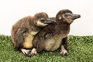 Two Penguin Chicks Hatch at the Aquarium