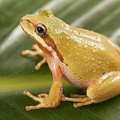 Pacific Tree Frog - thumbnail