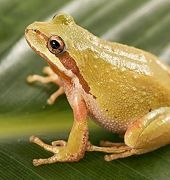 Northern Pacific Tree (Chorus) Frog