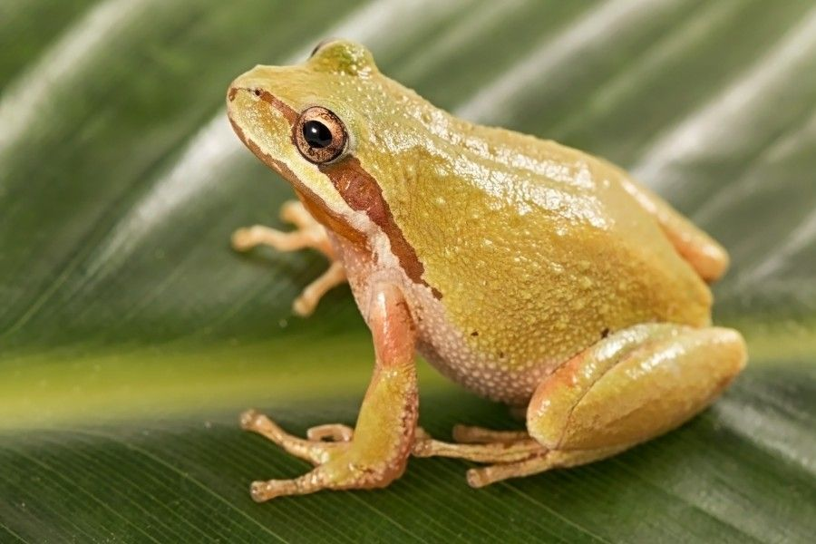 Pacific Tree Frog - lightbox