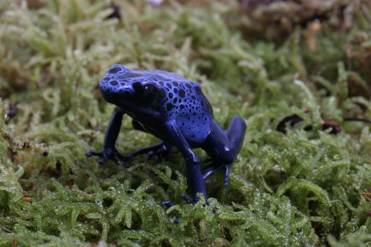 2ccc871a02e4d Aquarium of the Pacific | Online Learning Center | Blue Poison Dart Frog