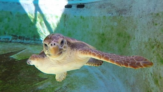 Aquarium Releases Rehabbed Loggerhead Sea Turtle