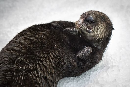 Chloe the Sea Otter Pup Makes Her Debut