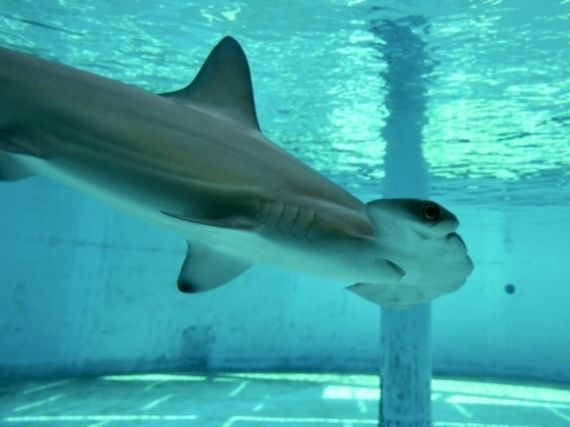 Scalloped hammerhead shark swims past viewing window of holding aquarium