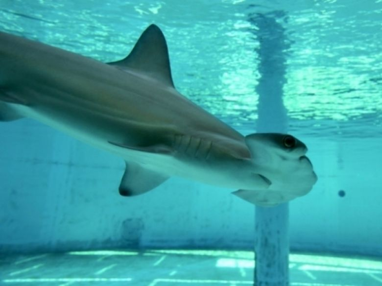 Scalloped hammerhead shark swims past viewing window of holding aquarium - popup